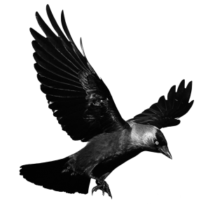 22565-8-raven-flying-transparent-background